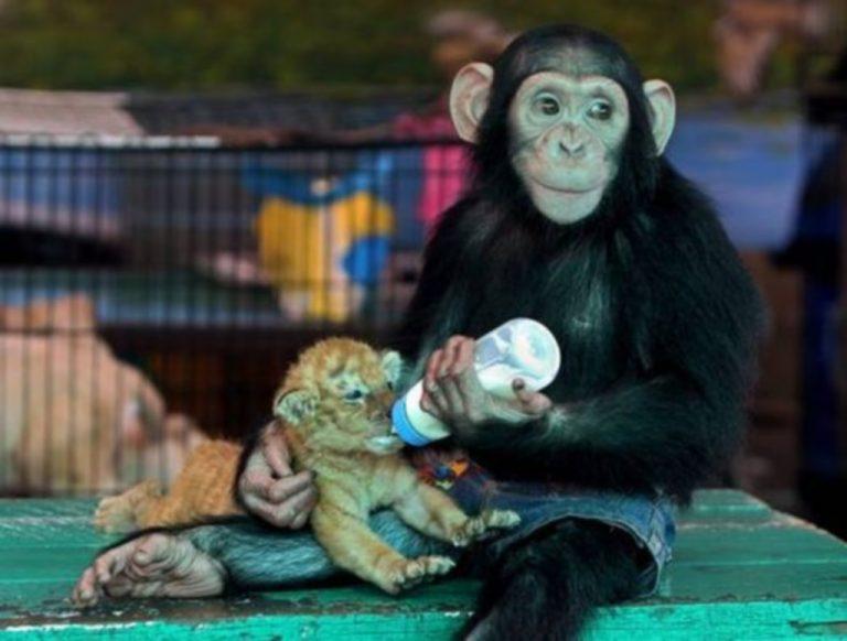 Μαϊμού ταίζει με μπιμπερό τιγράκι! Δείτε το απίστευτο βίντεο | Newsit.gr