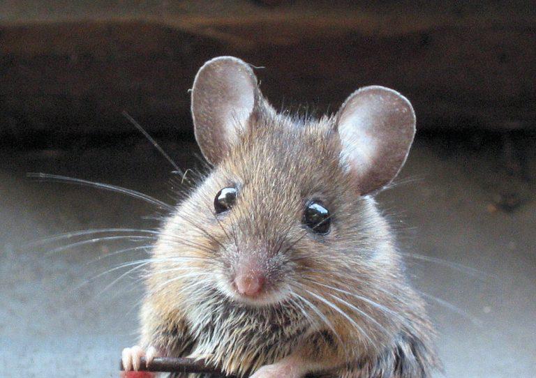 Ποντικός με ….υποκριτικό ταλέντο! Δείτε το ξεκαρδιστικό ΒΙΝΤΕΟ   Newsit.gr