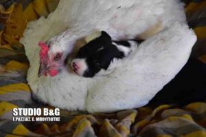 Κότα υιοθέτησε κουτάβι στο Ναύπλιο [vid]