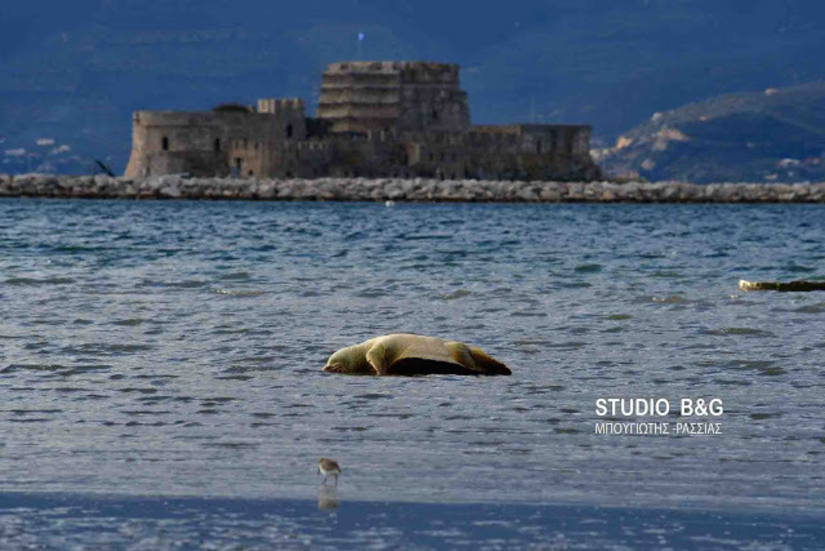 Ναύπλιο: Χτυπημένη θάλασσια χελώνα ξεβράστηκε νεκρή [pics, vid] | Newsit.gr