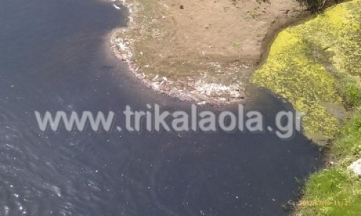 Τρίκαλα: Οικολογική καταστροφή στον Πηνειό με εκατοντάδες νεκρά ψάρια! | Newsit.gr