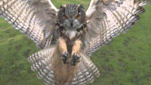Απίστευτο βίντεο! Κουκουβάγια επιτίθεται σε drone!