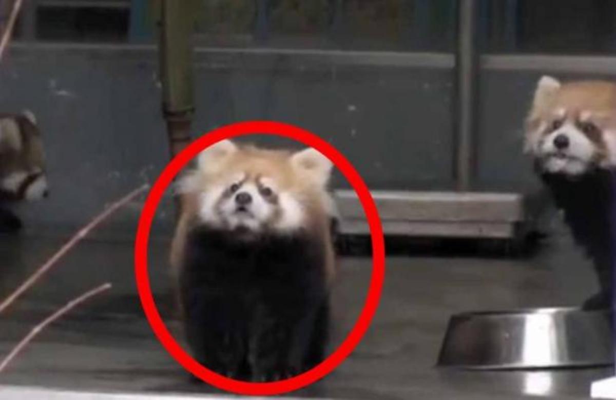 ΔΕΙΤΕ προσεκτικά τι θα συμβεί στο μικρό panda   Newsit.gr