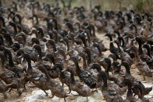 Γαλλία: Ακόμα 600.000 πάπιες θα θανατωθούν, εξαιτίας της γρίπης των πτηνών