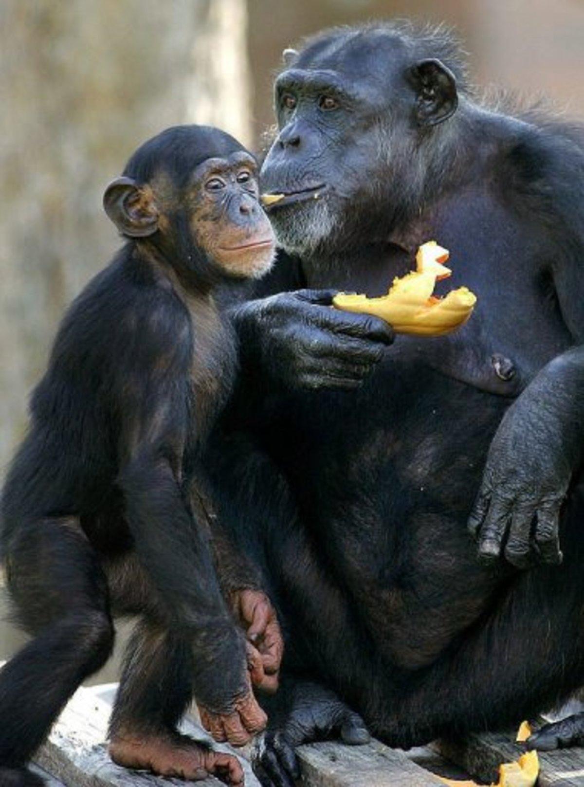 Θα απαγορευτούν τα πειράματα σε πιθήκους, χιμπατζήδες, γορίλλες και ουρακοτάγκους… | Newsit.gr