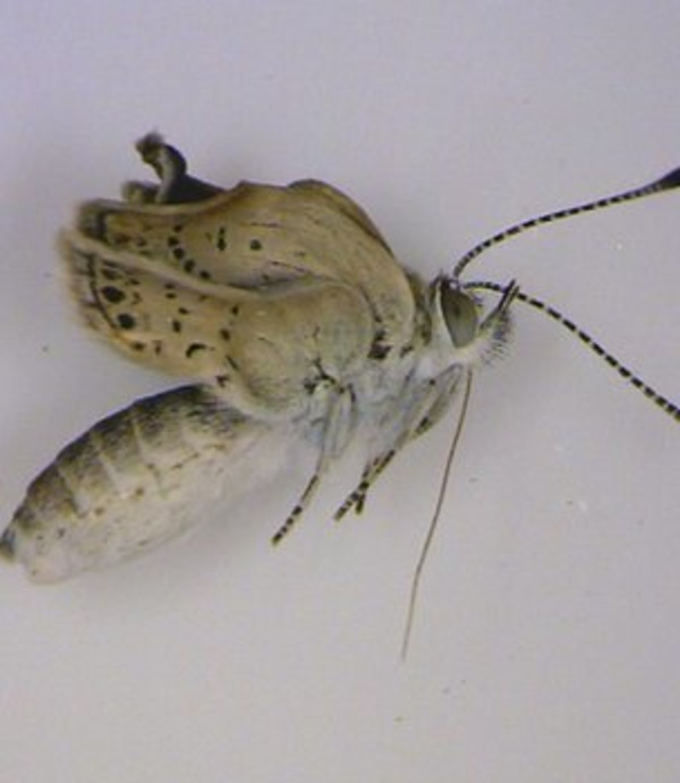 Μεταλλαγμένες πεταλούδες λόγω Φουκουσίμα | Newsit.gr
