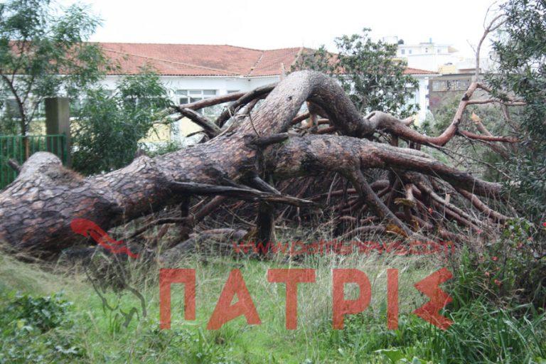 Ηλεία: Τεράστιο πεύκο ύψους 20 μέτρων «κατέρρευσε»   Newsit.gr