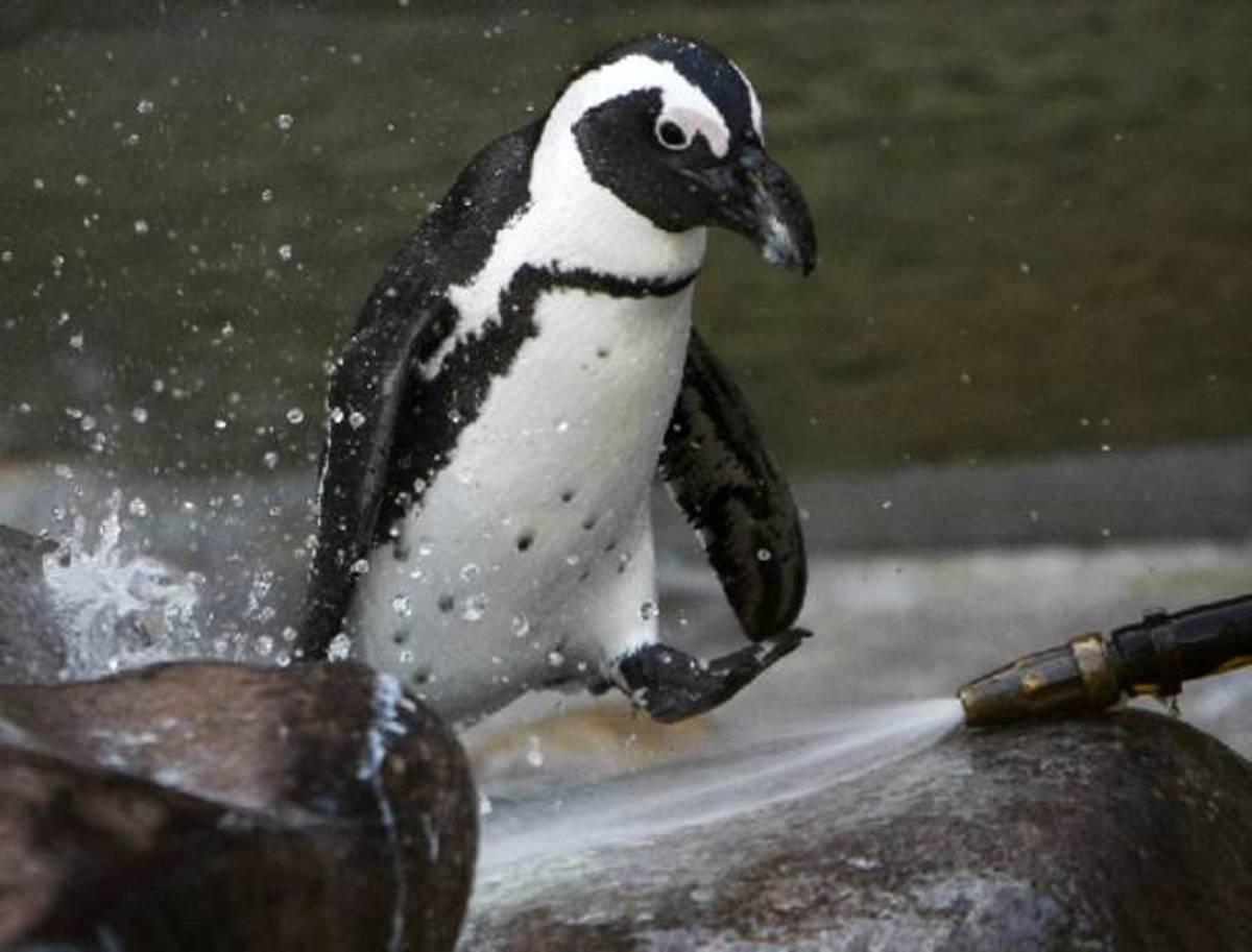 Πέθαναν  500 πιγκουίνοι από το πολύ κρύο! | Newsit.gr
