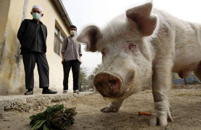 Και τα γουρούνια κοιτάζονται στον καθρέφτη   Newsit.gr
