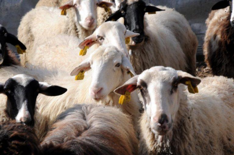 Ηράκλειο: Πήγε τα πρόβατα να βοσκήσουν στον… αρχαιολογικό χώρο!   Newsit.gr