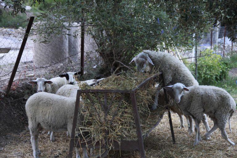 Ηράκλειο: Τα πρόβατα έκαναν φτερά! | Newsit.gr