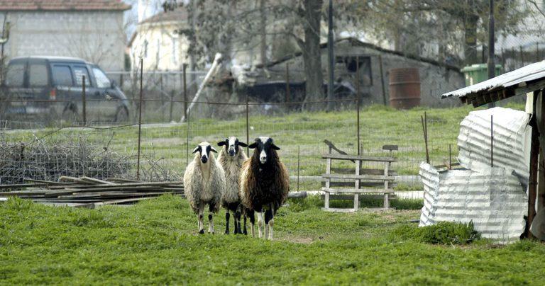 Ηράκλειο: Η νύχτα που έκαναν »φτερά» 116 πρόβατα! | Newsit.gr
