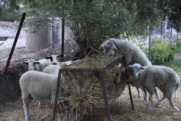 Ηλεία: Κάηκαν ζωντανά πρόβατα στην στάνη | Newsit.gr