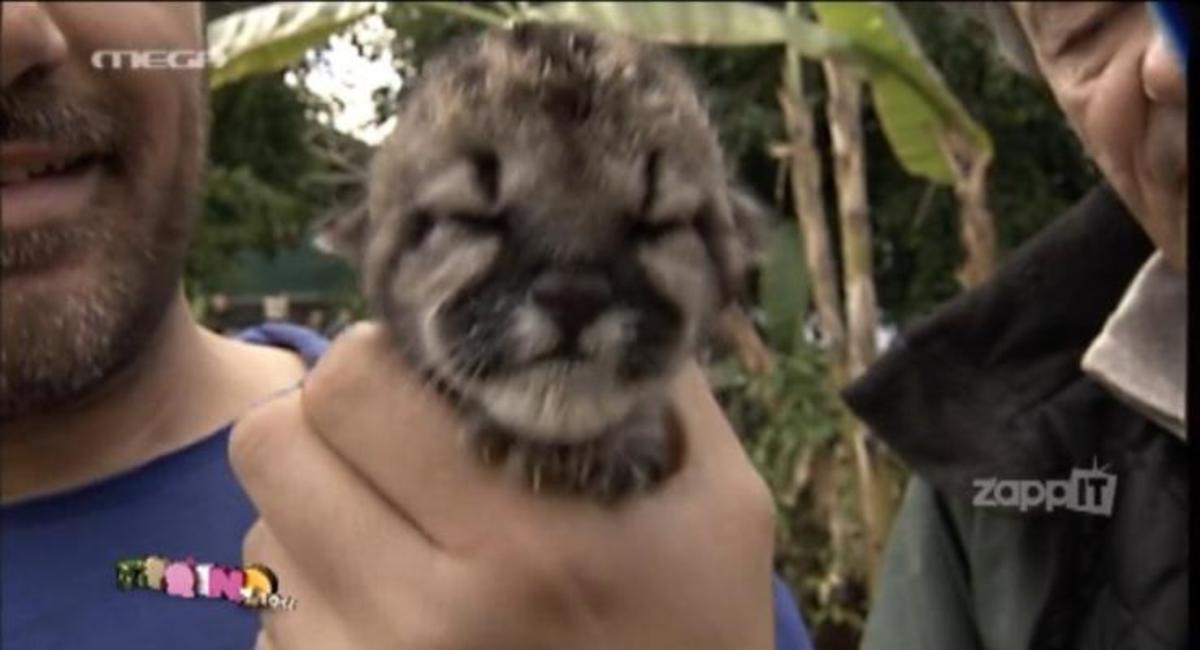 Νέζος για νεογέννητο puma: «Ααα…Το έπνιξα;' | Newsit.gr