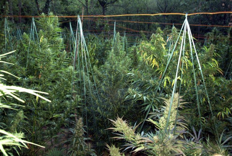 Φυτείες με 733 δενδρύλλια κάνναβης στο Ρέθυμνο | Newsit.gr