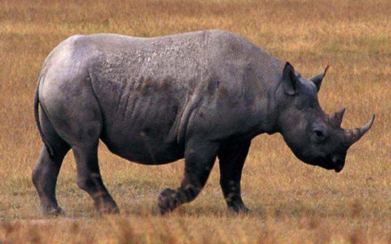 Περιζήτητο το κέρατο… ρινόκερου! | Newsit.gr