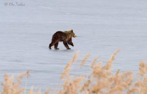 Καστοριά: Ένα αρκουδάκι έκανε βόλτες στην παγωμένη λίμνη [pics]