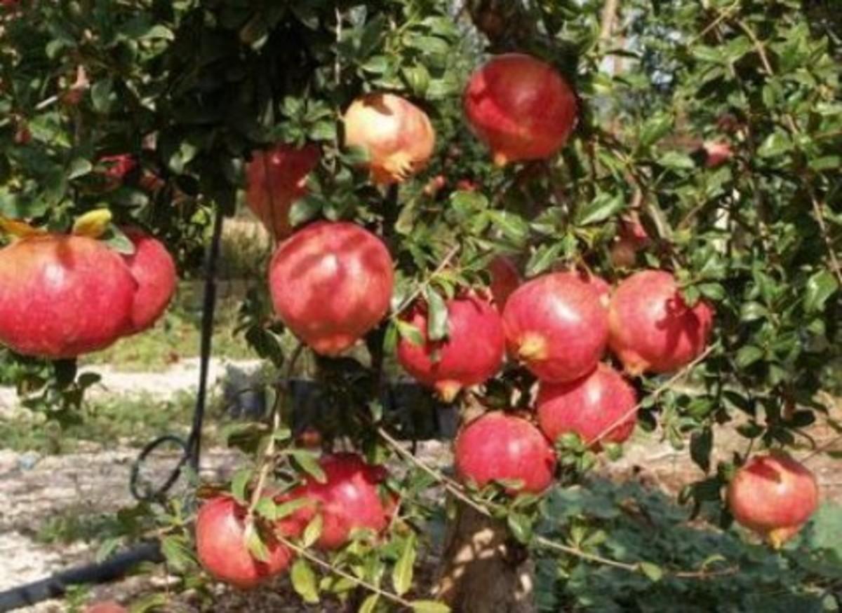 Κρήτη: Τα ελαιόδεντρα έγιναν ροδιές – Επένδυση στον καρπό της αφθονίας!   Newsit.gr