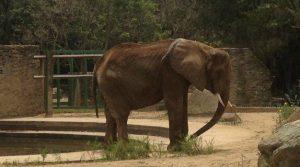 Ο σκελετωμένος ελέφαντας της Βενεζουέλας [pics, vids]