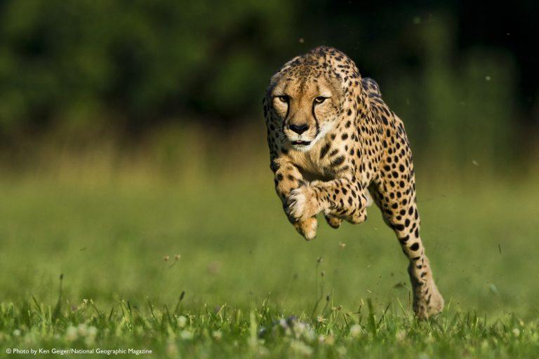 Σάρα, το τσίτα που τρέχει τα 100μ. σε 5,95! VIDEO   Newsit.gr