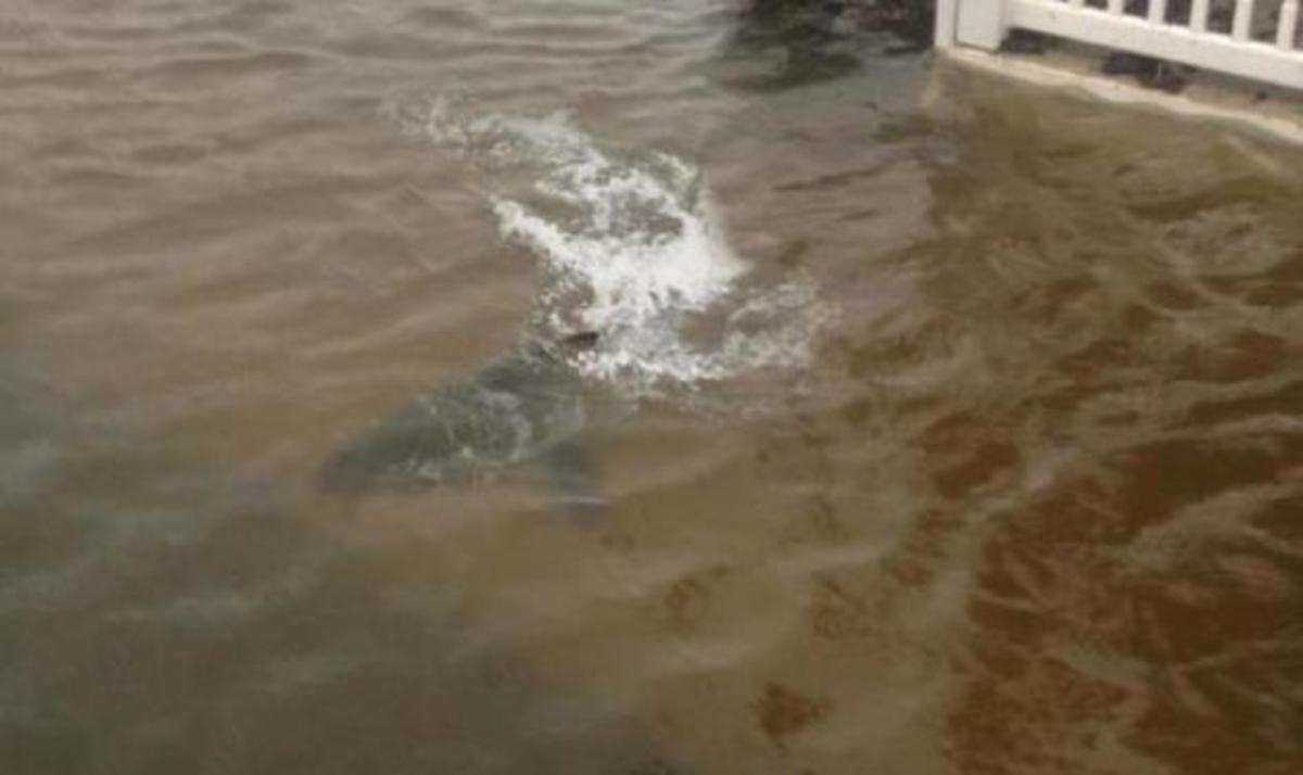 Ο άνθρωπος που παρίστανε τον καρχαρία στα νερά του τυφώνα Sandy! Βίντεο | Newsit.gr