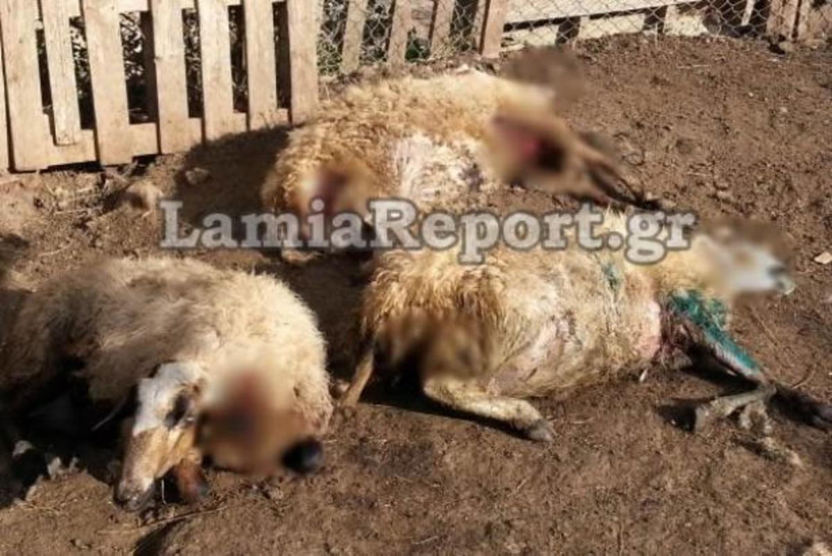 Λαμία: Αγέλη αδέσποτων σκύλων κατασπάραξε πρόβατα   Newsit.gr