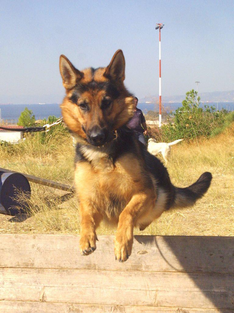 Λαγωνικά Κ9 στην υπηρεσία της αστυνομίας | Newsit.gr