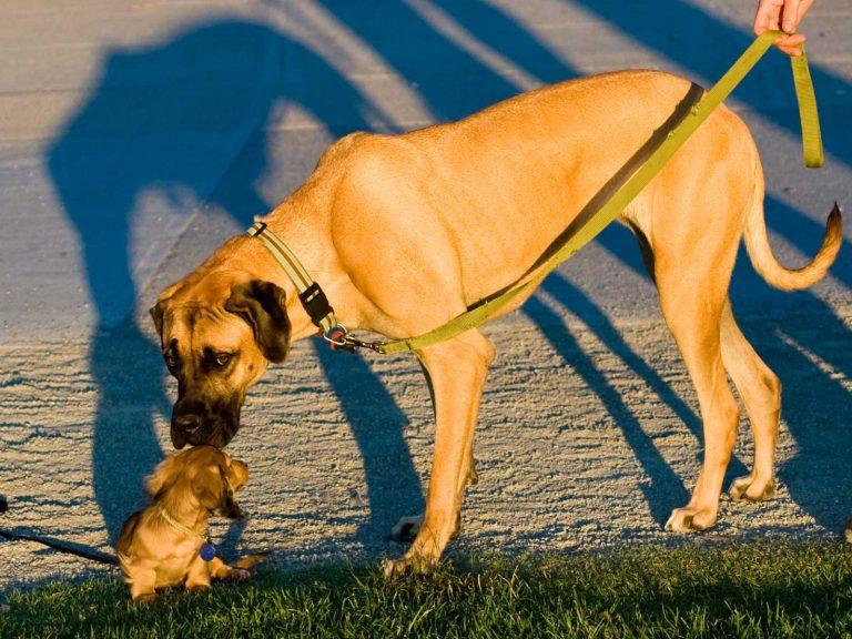 Τα μεγαλόσωμα σκυλιά πεθαίνουν νωρίτερα από τα μικρόσωμα | Newsit.gr