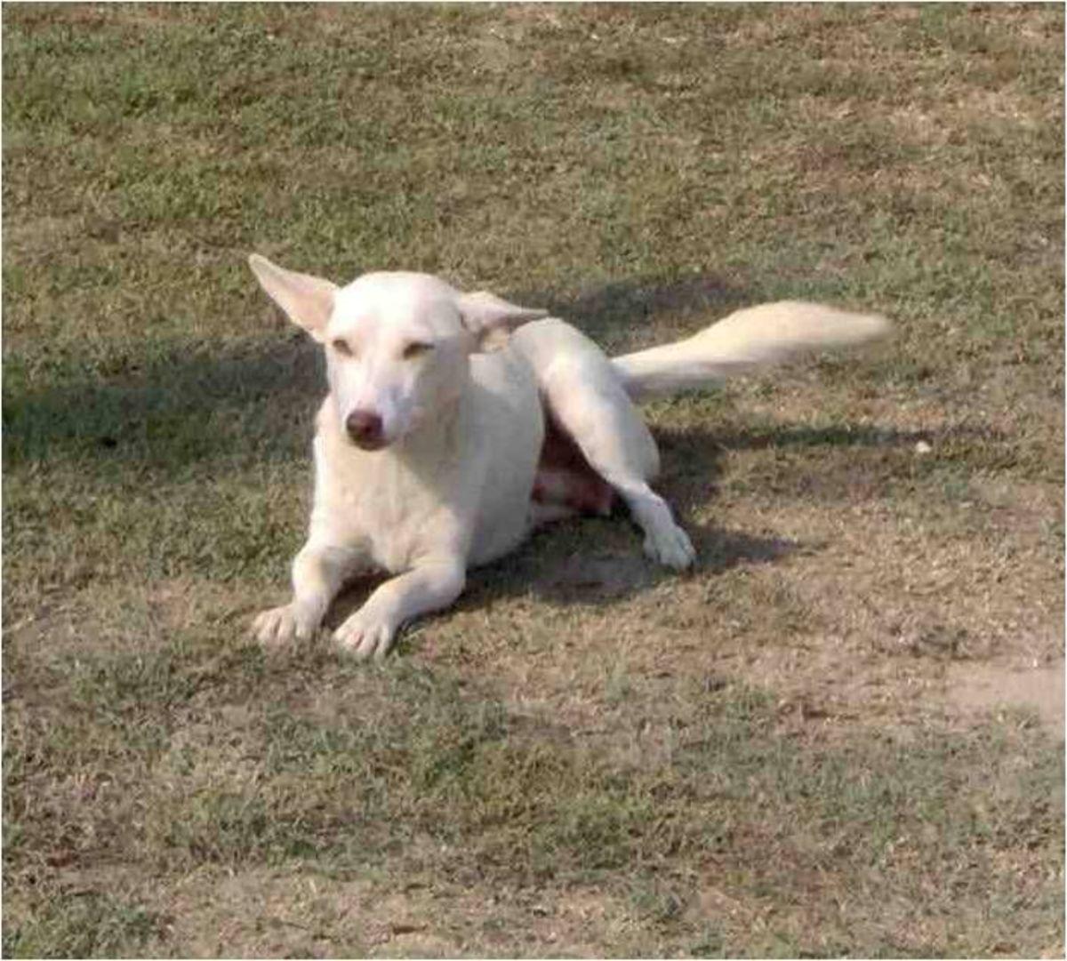 Σπάνια αρχαιοελληνική φυλή σκύλων κινδυνεύει με εξαφάνιση | Newsit.gr
