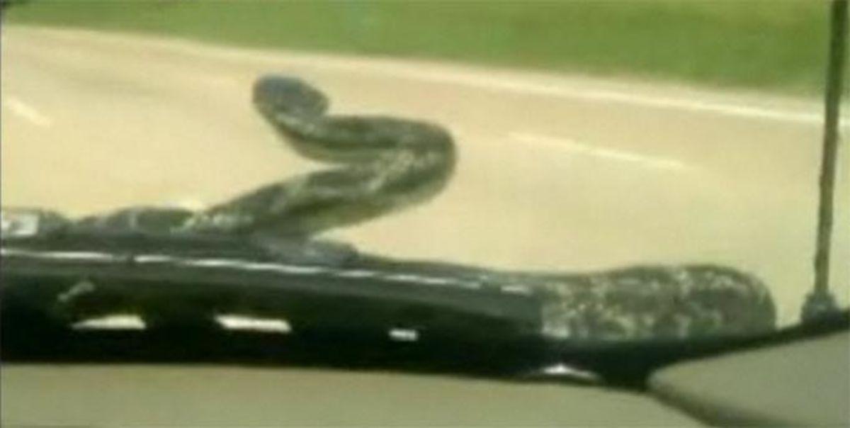 Το φίδι κρυβόταν στο αυτοκίνητο! Video | Newsit.gr