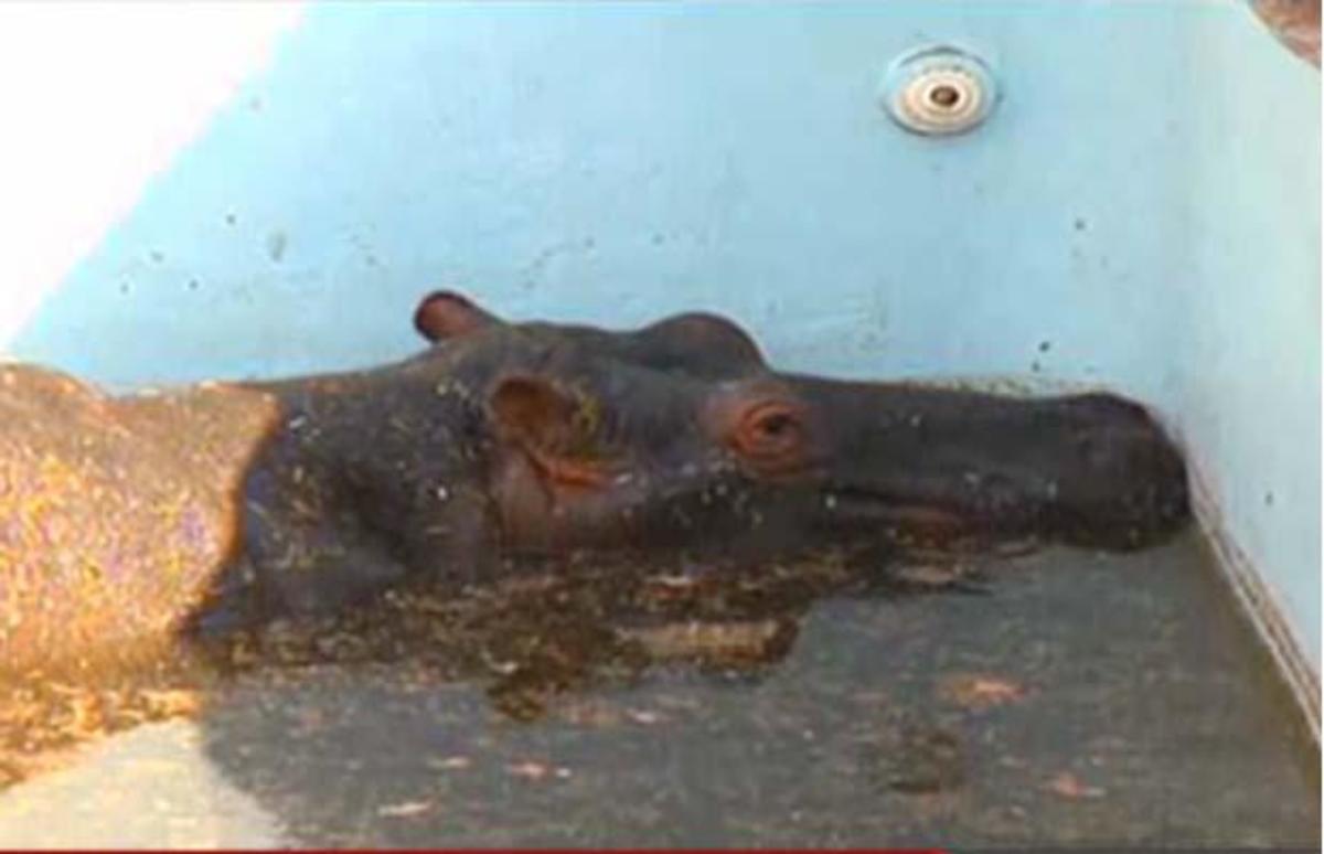 Το στρες σκότωσε ιπποπόταμο που είχε παγιδευτεί σε πισίνα (VIDEO) | Newsit.gr