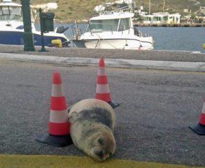 """Ίος: Σκότωσαν τον """"Θεοδόση"""" – Πυροβόλησαν τη διάσημη φώκια σε παραλία του νησιού [pics]"""