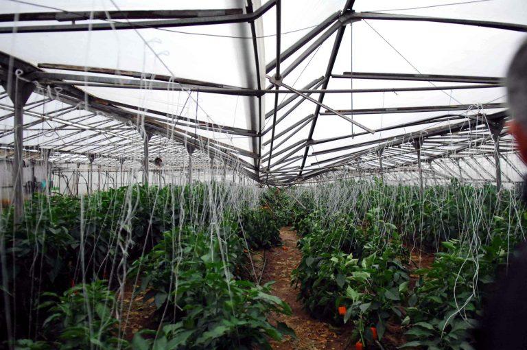 Καλαμάτα: Στο θερμοκήπιο μεγάλωναν… χασισόδεντρα! | Newsit.gr