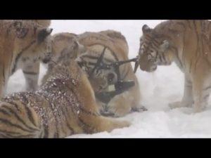 Τίγρεις από τη Σιβηρία »εξουδετερώνουν» drone! [vid]