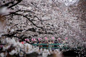 Οι κερασιές άνθισαν στο Τόκιο! Εντυπωσιακές εικόνες [pics]
