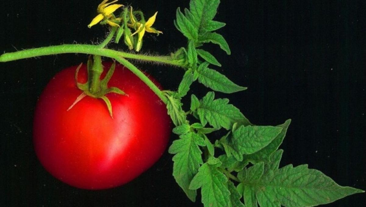 Γιατί οι ντομάτες προστατεύουν από τα εγκεφαλικά; | Newsit.gr