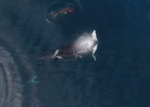 Η άγρια ομορφιά της φύσης! Φάλαινες δολοφόνοι καταβροχθίζουν καρχαρία [vid]
