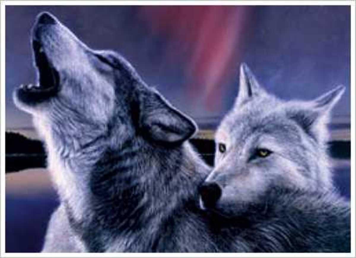 Αλεξανδρούπολη:Αγέλη λύκων κατασπάραξε το κοπάδι με τα πρόβατα -Δείτε βίντεο! | Newsit.gr