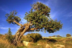Χαρουπιά: Ο ξεχασμένος ελληνικός θησαυρός!