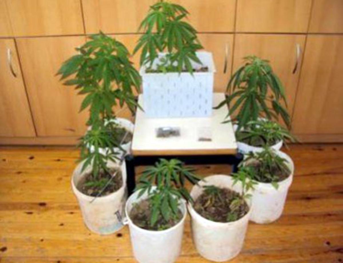Ηράκλειο: Βρήκαν τα χασισόδεντρα, ψάχνουν τους καλλιεργητές | Newsit.gr