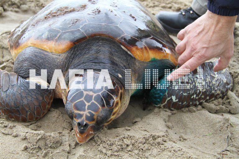 Ηλεία: Γέφυρα σωτηρίας για τραυματισμένη χελώνα – ΦΩΤΟ & ΒΙΝΤΕΟ | Newsit.gr