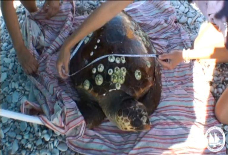 Διάσωση χελώνας καρέτα καρέτα στη Σάμο – Δείτε βίντεο | Newsit.gr
