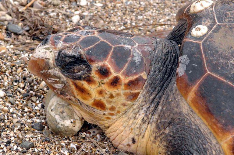 Σοβαρός τραυματισμός χελώνας από αγκίστρι | Newsit.gr