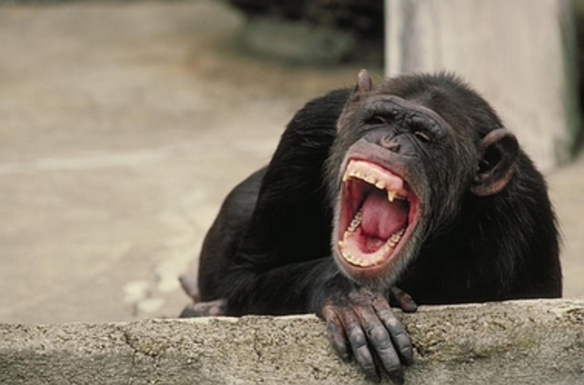 Οι χιμπατζήδες διαισθάνονται το θάνατο όπως οι άνθρωποι | Newsit.gr