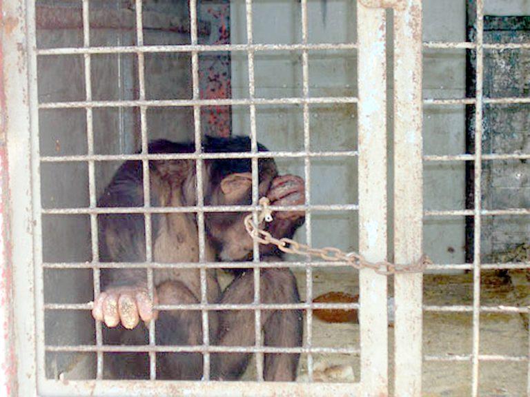 Πέντε χιμπατζήδες δραπέτευσαν και πήραν «σβάρνα» ένα κοριτσάκι | Newsit.gr