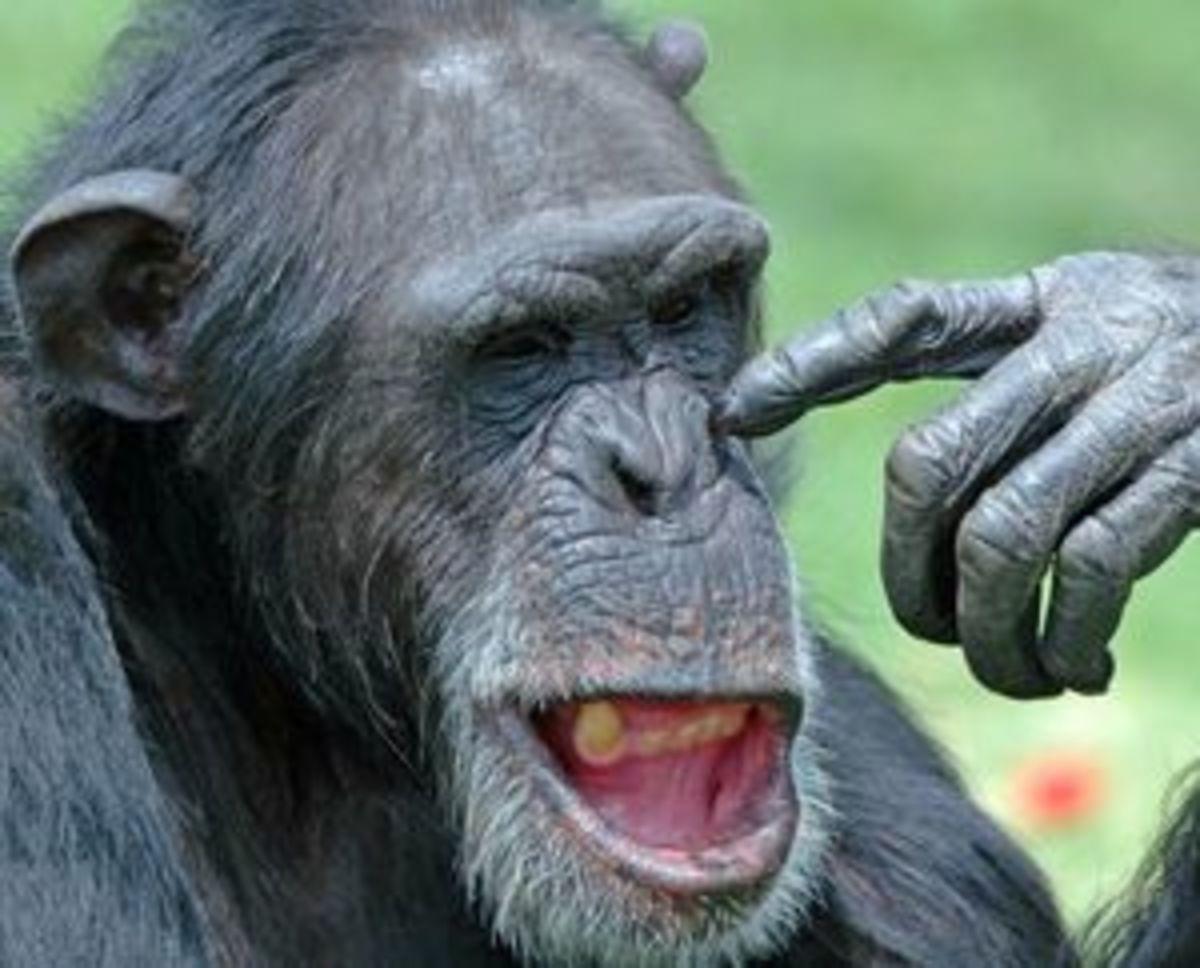 Οι χιμπατζήδες σκέφτονται όπως οι άνθρωποι! | Newsit.gr