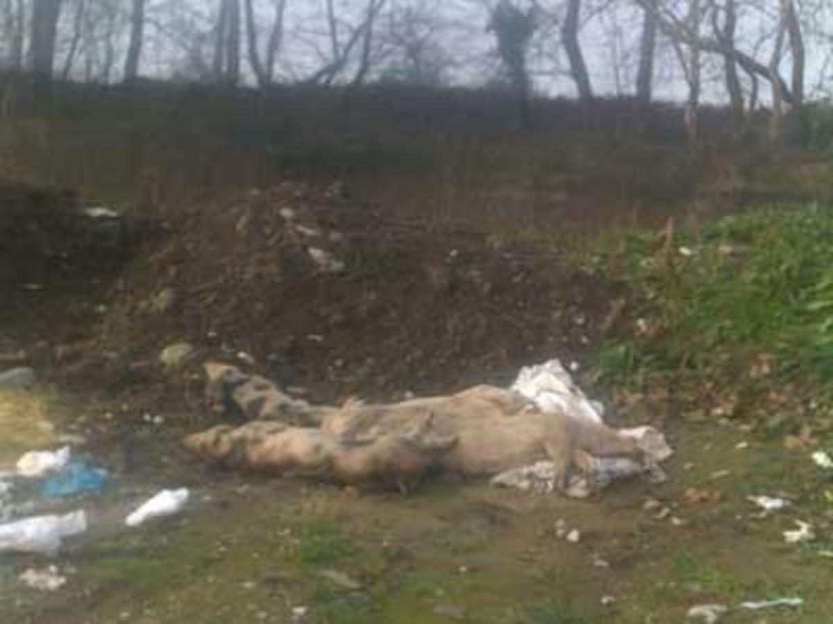 Φθιώτιδα: Τι κρύβουν τα θαμμένα γουρούνια στην Ελάτεια; | Newsit.gr