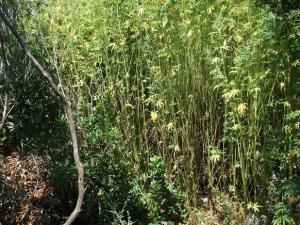 Μεσσηνία: Αυτοψία σε δάσος με χασισόδεντρα – Οι εικόνες που δόθηκαν στη δημοσιότητα [pics]