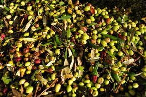 Μακεδονία: «Κλειδώνει» η τιμή της βρώσιμης ελιάς – Τι διεκδικούν οι ελαιοπαραγωγοί…
