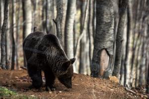Φλώρινα: Αυτοκίνητο παρέσρε και σκότωσε αρκούδα – Τη βρήκαν νεκρή στον δρόμο!